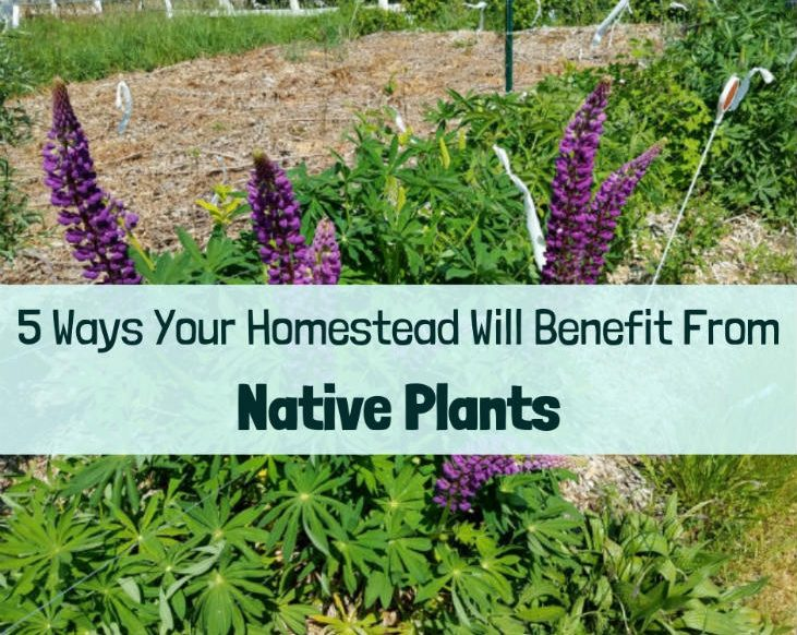 Native plants can boost your homestead