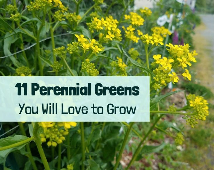 Perennial greens are great to grow