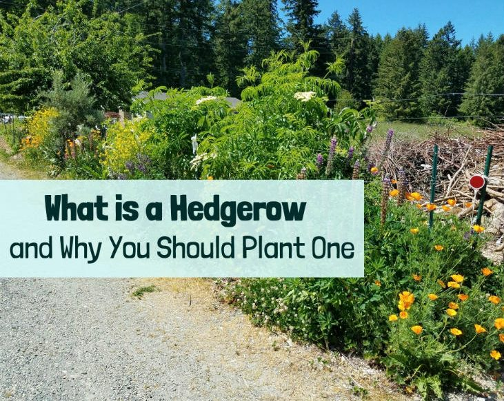 What is a hedgerow