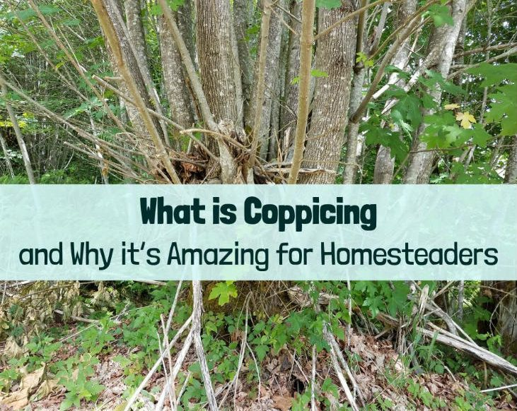 what is coppicing