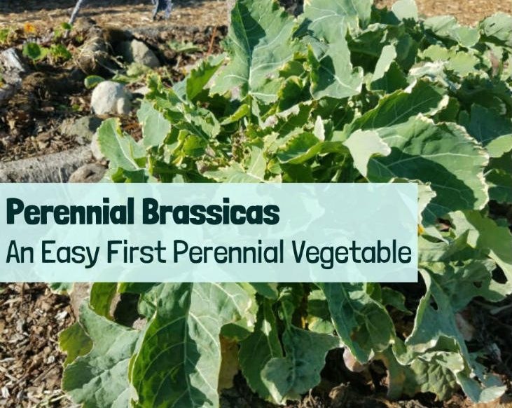 perennial brassicas are great first perennial vegetables