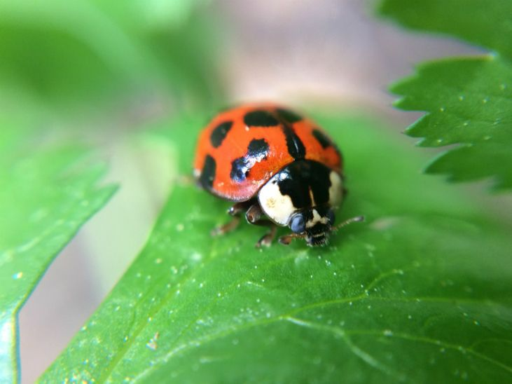 Control garden pests with ladybugs