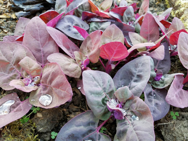 Direct seeding your vegetables like orach can be effective
