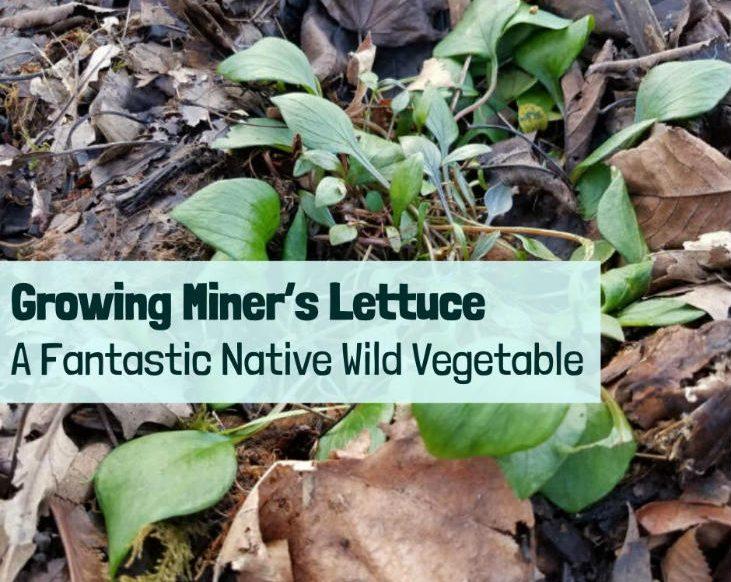 grow miner's lettuce!