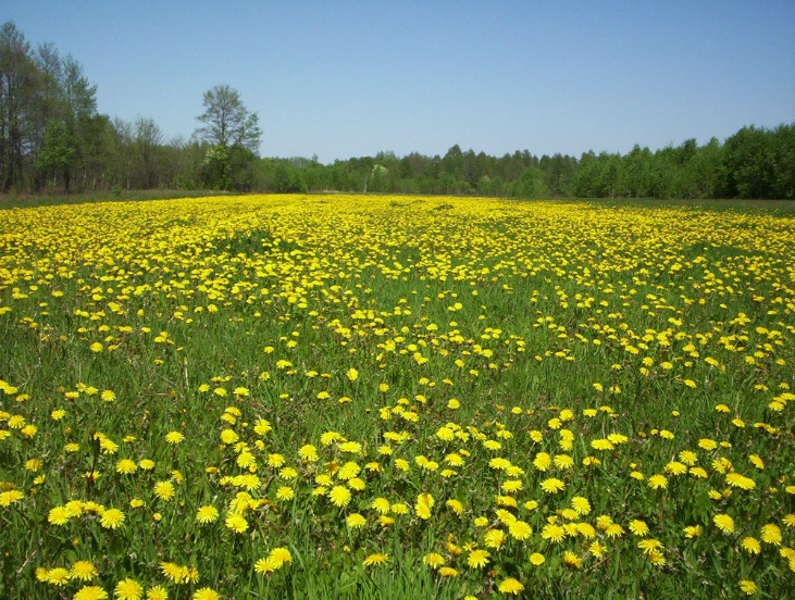 Dandelions are an perennial vegetable