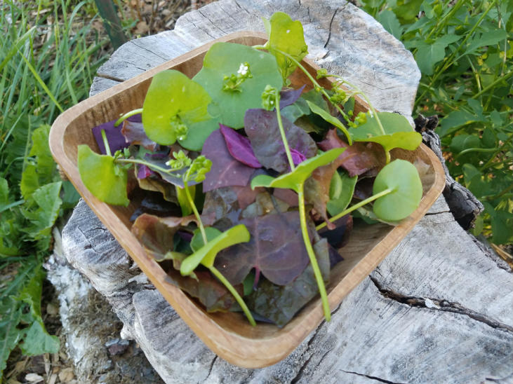 Eat miner's lettuce in a salad!