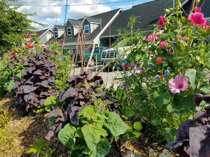 Getting started with growing orach