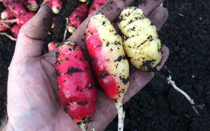 Get Started with Perennial Root Vegetables