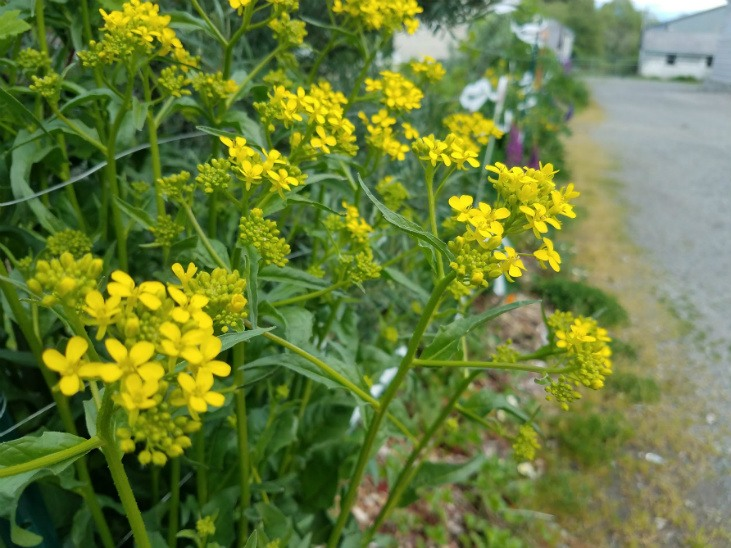 Turkish rocket is a perennial vegetable that can be added to your garden