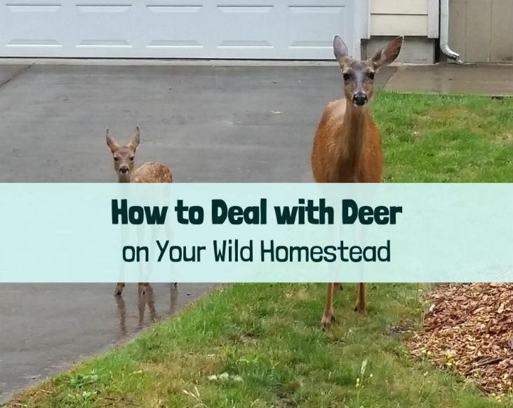 How to deal with deer
