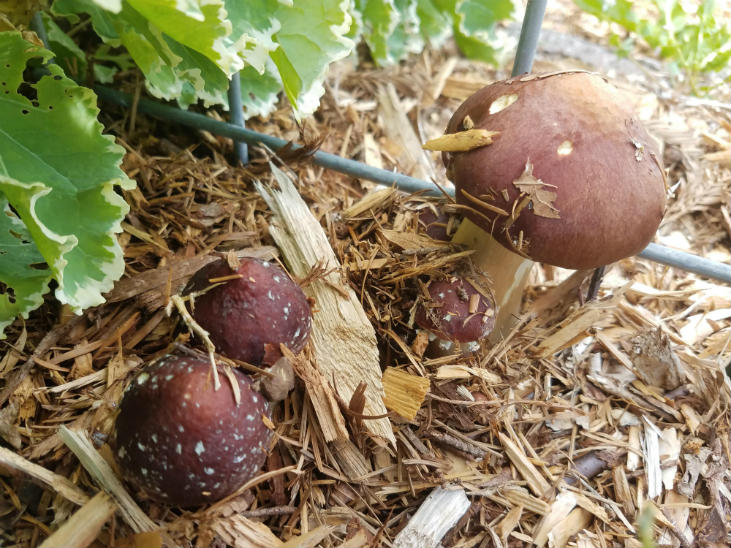 Wine cap mushrooms coming up through wood chips