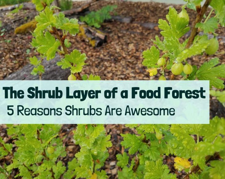 Don't forget the shrub layer of your food forest!