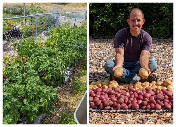 Harvest is much easier when you grow no-dig potatoes