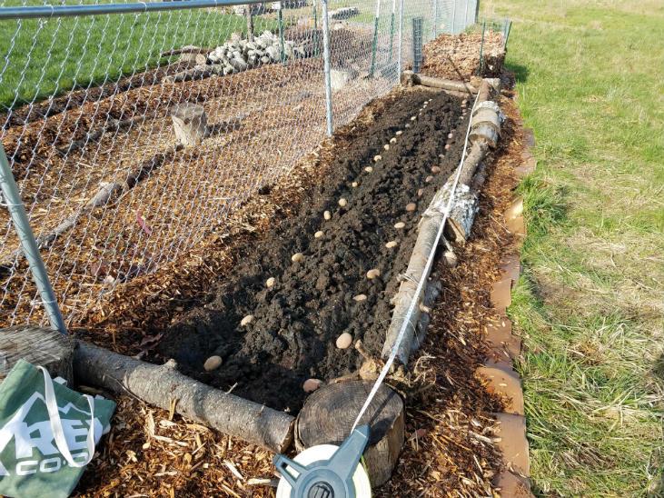 Planting no-dig potatoes is just like planting regular potatoes