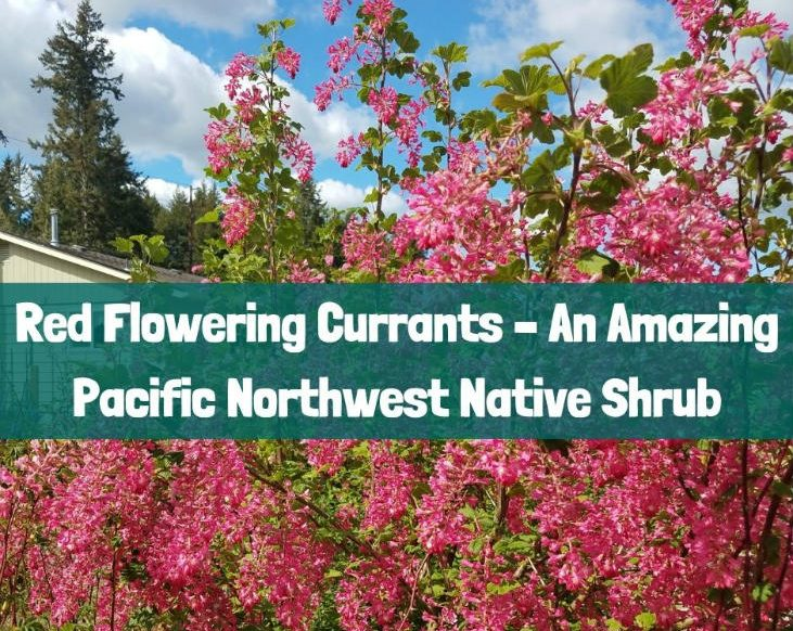 Red flowering currants are an amazing Pacific Northwest native shrub