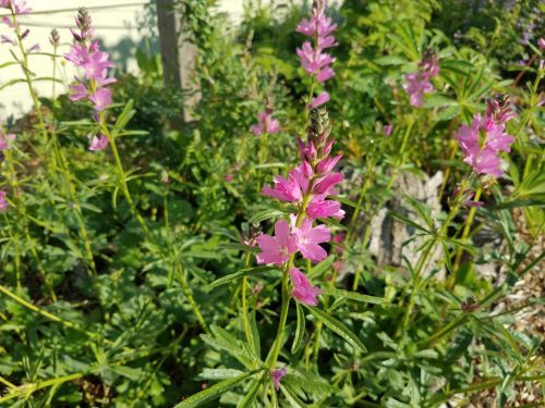 Try growing native wild vegetables