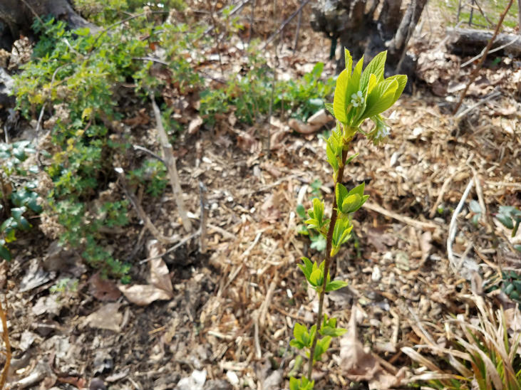 Osoberry (Indian plum) has beautiful spring leaves and flowers