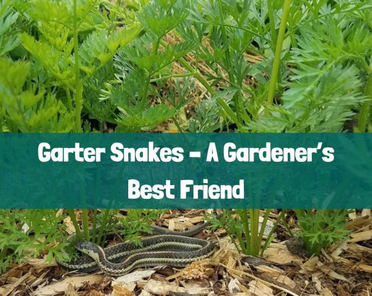 Garter snakes are a gardener's best friend