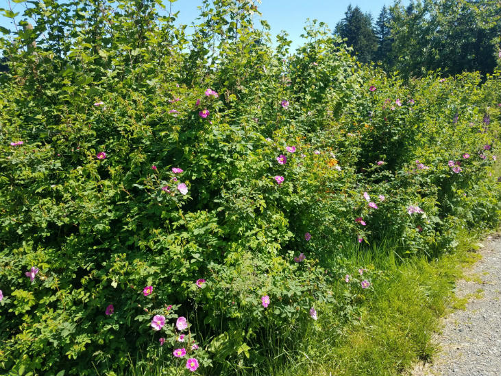 Nootka roses are a great addition to any hedgerow